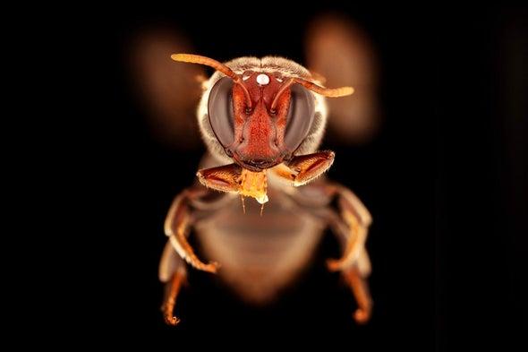 Especie de abeja Merglossa gemmata, una de las cuatro que ahora se sabe que se alimentan después del atardecer en Australia. Los investigadores vieron a la abeja, en su mayoría negra, en las flores de una planta de corteza de papel que lloraba. Crédito: Universidad James Dorey Flinders