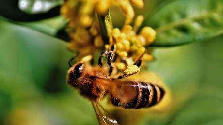 Se vieron abejas australianas buscando comida en el crepúsculo por primera vez