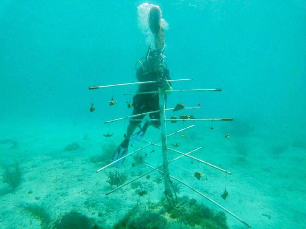 Cozumel avanza en restauración de corales en Chankanaab